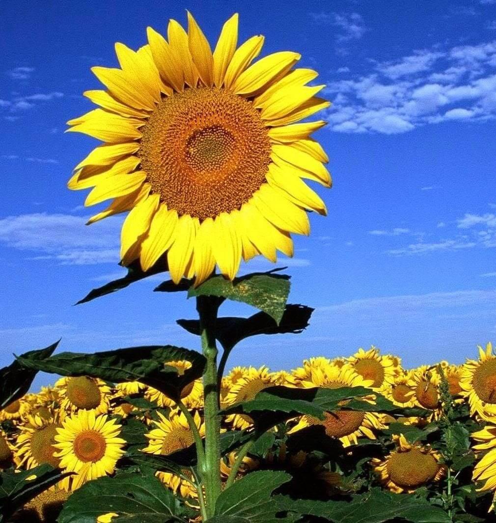 Em chỉ là hoa hướng dương, chờ đợi tia nắng duy nhất thuộc về em.
